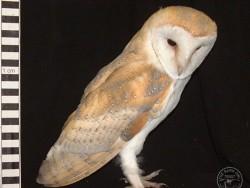 Barn Owl Owlet Growth 63 Days