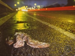 Barn Owl Road Kill Dead Stuart Dawber