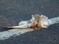 Barn Owl Road Kill Dead Closeup