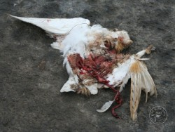 Barn Owl Road Kill Dead Crushed Closeup