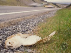 Barn Owl Road Kill Dead Road Verge