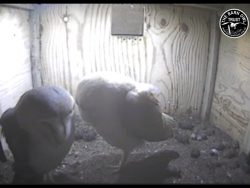 Barn Owl Webcam Nestcam Screenshot 11th January 2018