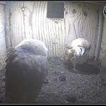 Barn Owl Webcam Nestcam Screenshot 15th February 2018