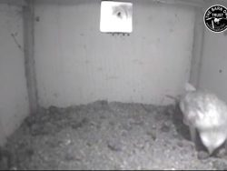Barn Owl Webcam Nestcam Screenshot 10th August 2018
