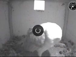 Barn Owl Webcam Nestcam Screenshot 7th November 2018