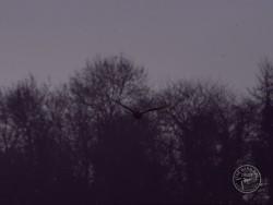 Barn Owls Dawn Dusk