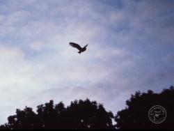 Barn Owls Dawn Dusk Nick Pitts