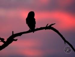 Barn Owls Dawn Dusk Phil McLean