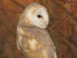 Barn Owls Dawn Dusk Nick Sampford Barn Owl pictures