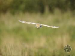 Barn Owls Flying Hunting 02