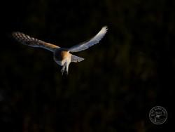 Barn Owls Flying Hunting 03