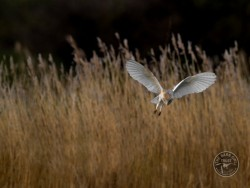 Barn Owls Flying Hunting 05