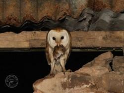 Barn Owls In Their Habitat 01