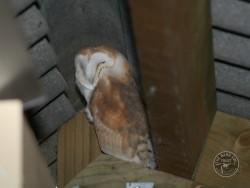 Barn Owls In Their Habitat 02