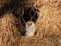 Barn Owls In Their Habitat