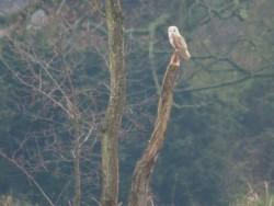 Barn Owls In Their Habitat (Bill Priddy)