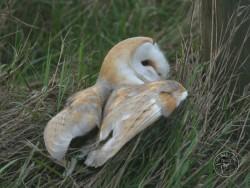 Barn Owls In Their Habitat (Nick Sampford)