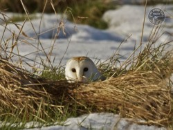 Barn Owls In Their Habitat (Russell Savoury) 02