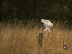 Barn Owls In Their Habitat (Russell Savoury)