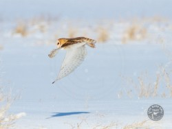 Barn Owls In Winter 03