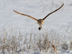 Barn Owls In Winter 04