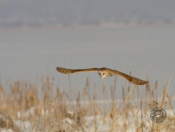 Barn Owls In Winter 05