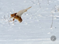 Barn Owls In Winter 06