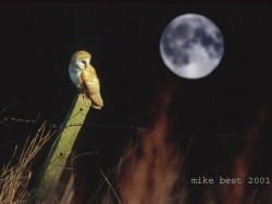 Barn Owls In Winter 07