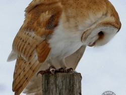 Barn Owls In Winter 09