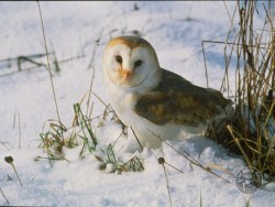 Barn Owls In Winter 10