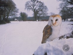 Barn Owls In Winter 11