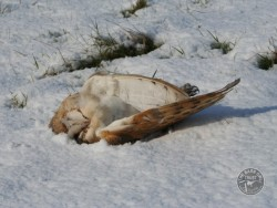 Barn Owls In Winter 13