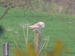 Barn Owls Perched Hunting 07