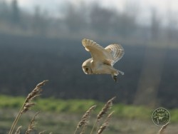 Barn Owls Flying Hunting 06