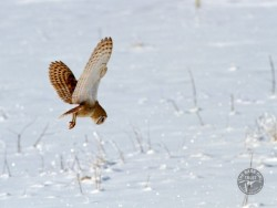 Barn Owls Flying Hunting 09