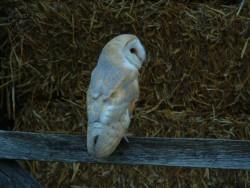 Barn Owl Dusk Wallpaper screen backgrounds