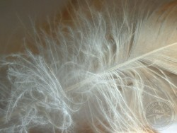 Barn Owl Feather Wallpapers download free