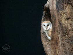 Barn Owl Hollow Tree Wallpaper background photo