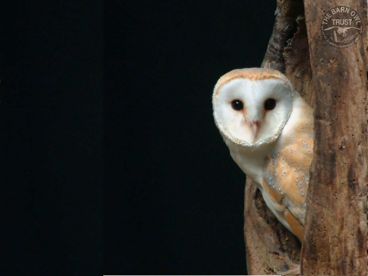 Barn Owl Hollow Tree Melanie Lindenthal The Barn Owl Trust