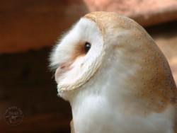 Barn Owl Wallpaper desktop background