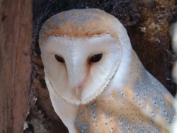 Barn Owl desktop backgrounds Wallpapers
