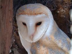 Barn Owl desktop backgrounds Wallpapers