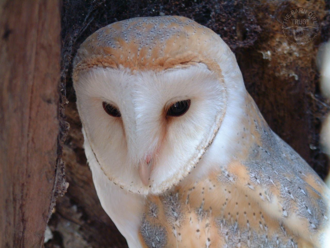 Wallpaper Archives The Barn Owl Trust