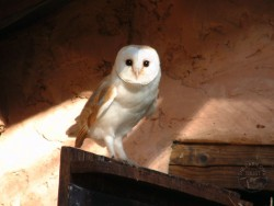 Barn Owl Wallpapers pictures