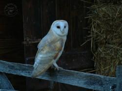 Barn Owl On Gate Wallpaper