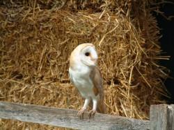 Barn Owl Wallpaper backgrounds
