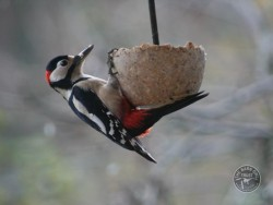 Bird Cake Woodpecker David Ramsden