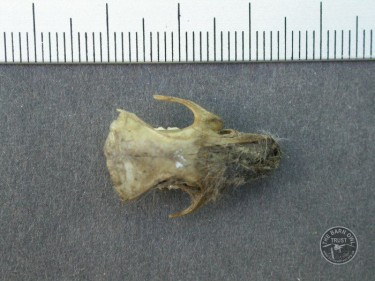 Brown Rat Skull Top - owl pellet contents