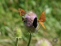 Butterflies Of Rough Grassland 02