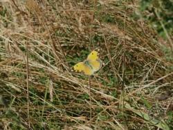 Butterflies Of Rough Grassland 03